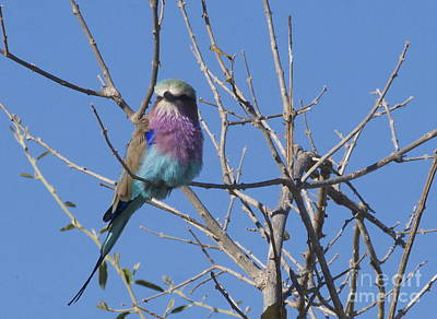Wall Art - Photograph - Lilac-breasted Roller by Judith Hochroth