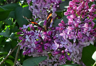 Photograph - Lilac Butterfly by Kristie  Bonnewell