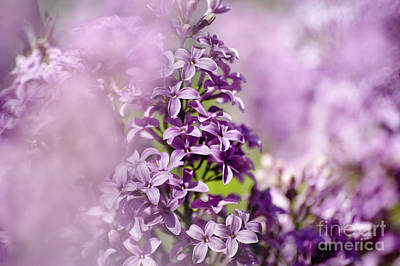 Photograph - Lilac Haze by Cheryl Davis