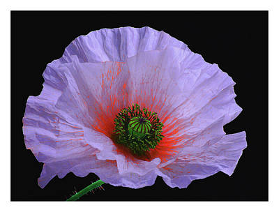 Lilac Poppy Print by A. McKinnon Photography