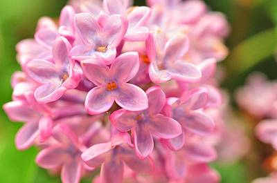 Photograph - Lilac  by Puzzles Shum