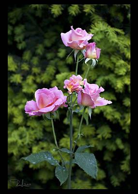 Photograph - Lilac Roses  Card by Raffaella Lunelli