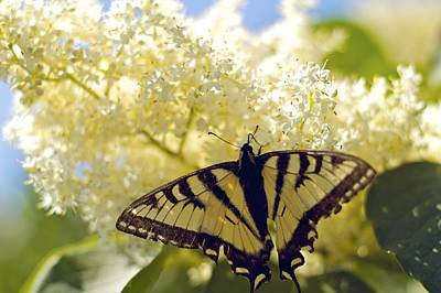 Swallowtail Lilac Spring Photo Original