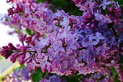Photograph - Lilacs In Bloom by Bruce Bley