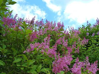 Lilacs In Rochester Ny Art Print by Jeanette Oberholtzer