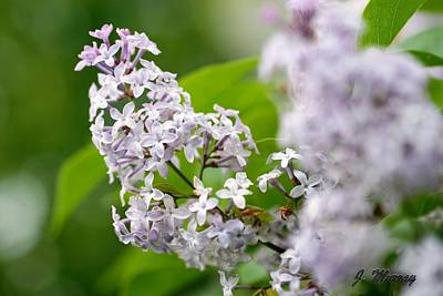 Photograph - Lilacs by Jessica J Murray