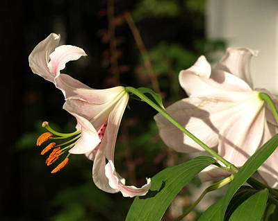 Photograph - Lilies No.3 by Katherine Huck Fernie Howard