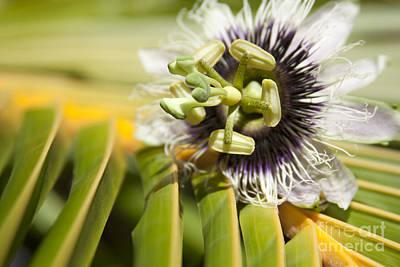 Passiflora Edulis Photograph - Lilikoi by Sharon Mau