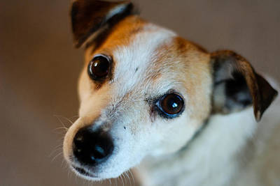 Lilly - The Jack Russell Art Print by Callum Mcleod