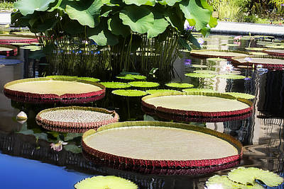 Photograph - Lilly Pond by Trudy Wilkerson