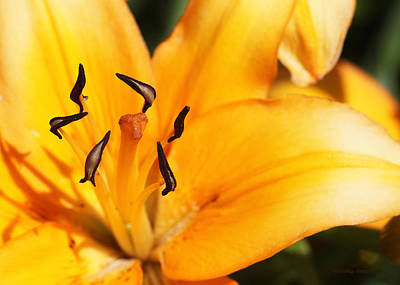 Photograph - Lily 1 by Kristy Jeppson