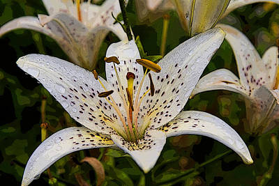 Photograph - Lily IIi by Michael Friedman