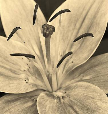 Photograph - Lily In Sepia by Bruce Bley
