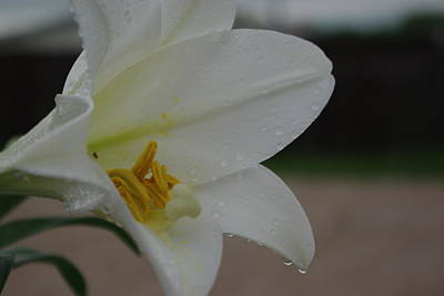 Photograph - Lily In The Rain by Robyn Stacey