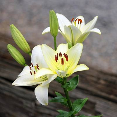 Photograph - Lily by Jim Goldseth