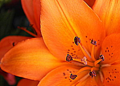 Art Print featuring the photograph Lily Lily by Bob Whitt