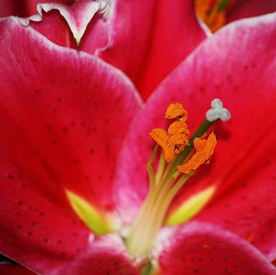 Photograph - Lily Macro by Chris Anderson