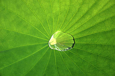 Photograph - Lily Pad by Emanuel Tanjala