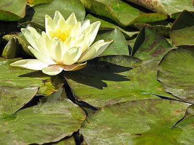 Photograph - Lily Pad Flower Fine Art Print by Ian Stevenson