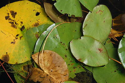 Photograph - Lily Pad Inspection by Margaret Pitcher