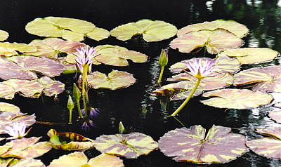Photograph - Lily Pads Abound by Barbara Plattenburg