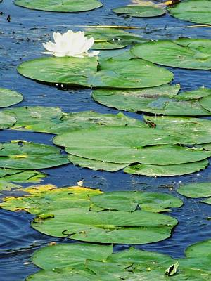 Photograph - Lily Pads-two by Todd Sherlock