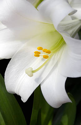 Fresh Flowers Photograph - Lily White by Peter Chilelli