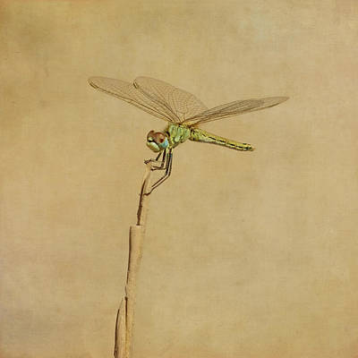 Lime Green Dragonfly Art Print by Paul Grand Image