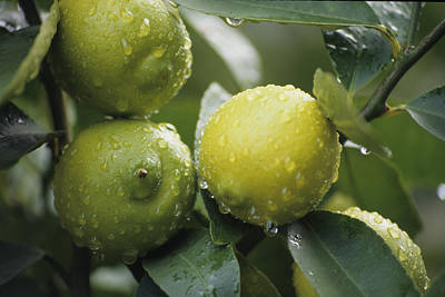 Photograph - Limes by John Farley