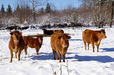 Photograph - Limousin Cattle In The Winter by Rod Jones