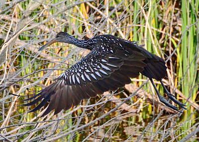 Photograph - Limpkin In Flight by Carol  Bradley