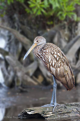 Photograph - Limpkin On A Log by Mike Fitzgerald