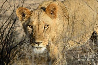 Photograph - Lion by Alan Clifford