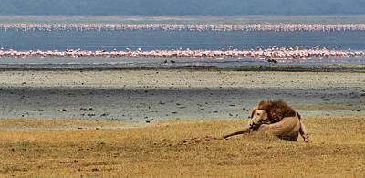 Photograph - Lion And Flamingos by Joe Bonita