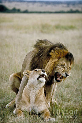 African Sex Photograph - Lion And Lioness Mating by Greg Dimijian