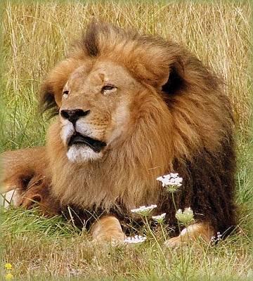 Lion Bouquet Art Print by Judy Garrett