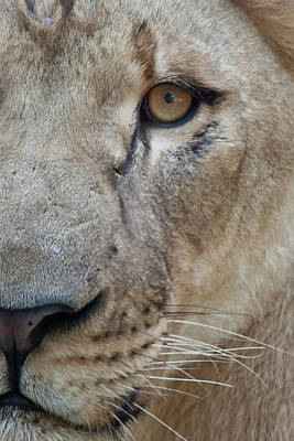 Photograph - Lion Close-up by James Woody
