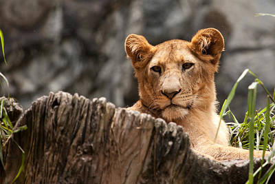 Lion Cub Original by Darren Strubhar