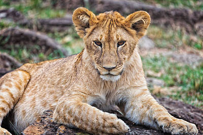 Photograph - Lion Cub by Perla Copernik