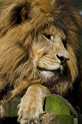 Photograph - Lion Gaze by JT Lewis
