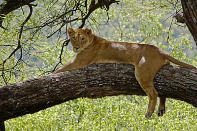 Photograph - Lion In A Tree - Lake Manyara Np Tanzania by Craig Lovell