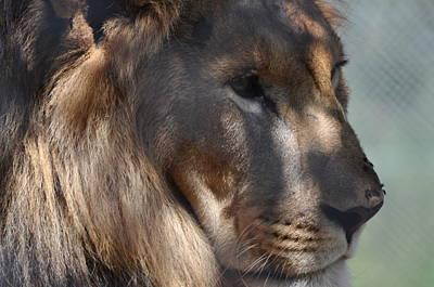 Photograph - Lion King by Joe  Burns