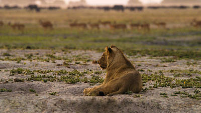 Photograph - Lion Lazy by Alistair Lyne