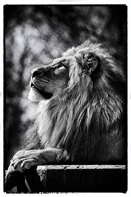 Photograph - Lion Meditating by Perla Copernik