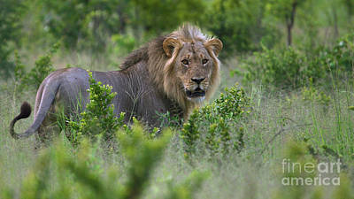 Photograph - Lion On Patrol by Mareko Marciniak