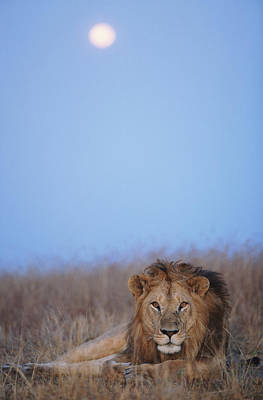Lion (panthera Leo) Resting In Grass Under Setting Full Moon Art Print by Paul Souders
