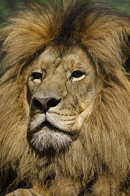 Photograph - Lion Portrait by JT Lewis