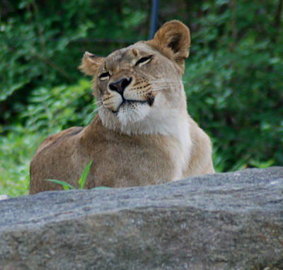 Photograph - Lion Portrait by Richard Bryce and Family