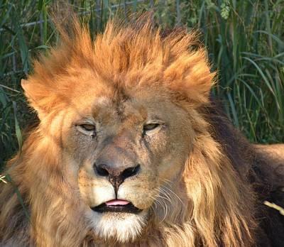 Photograph - Lion by Randy J Heath