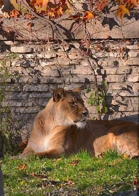 lion Territory Art Print